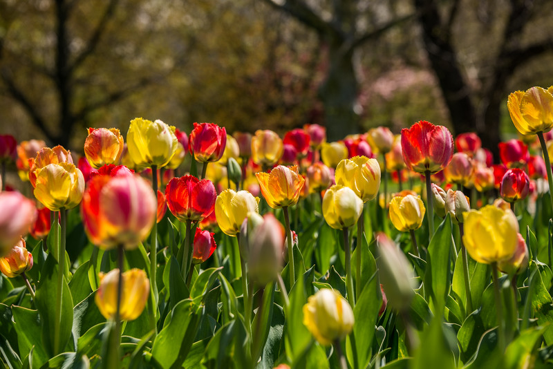 Spring Tulips in Guilford