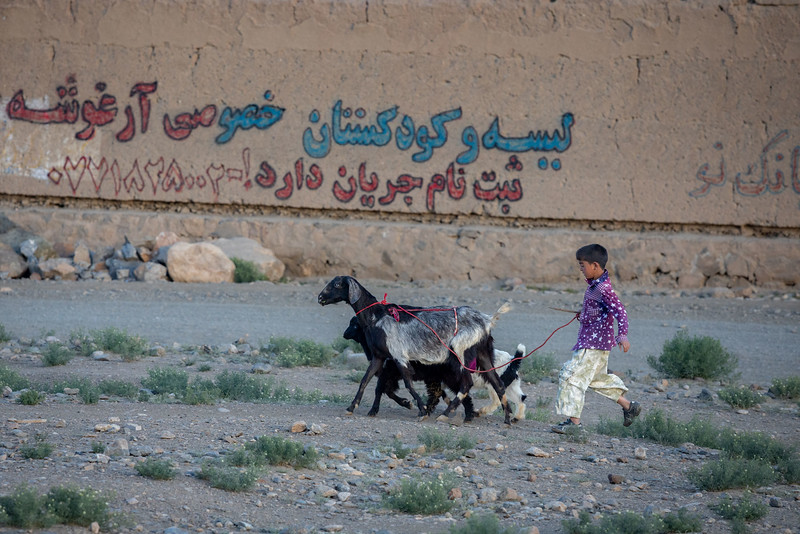 Bringing the goats back home in the evening. Sang-Chaspan area of Bamyan.