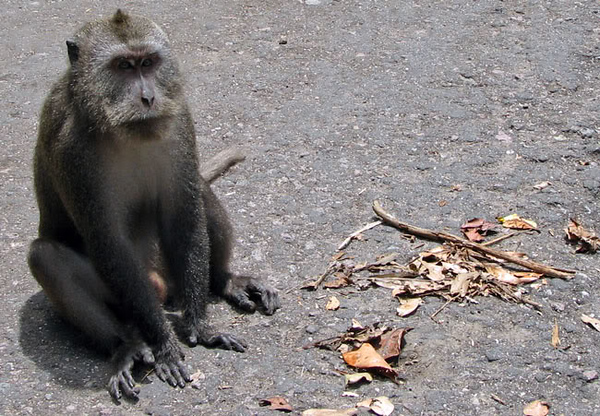 """.... and we saw a troop of monkeys on the way home! What beggars! When they discovered we had peanuts they nearly climbed in the van with us and I remembered what the nurse had told me when I was getting all my shots before leaving the US, """"Stay away from the monkeys."""""""