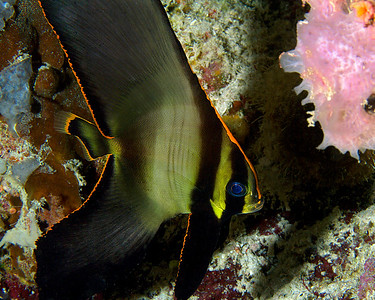 Juvenile Pinnate Spadefish