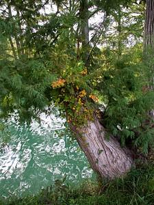 ++A241842 Bandera City Park - Poison Ivy – Version 2
