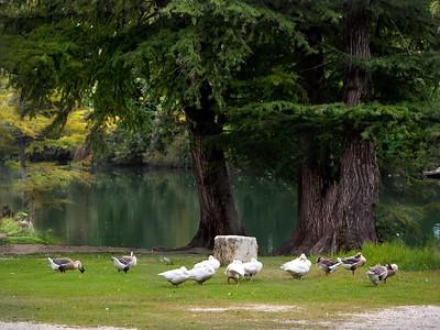 +++A241789 Bandera City Park - Ducks – Version 2