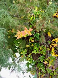 ++A241841 Bandera City Park - Poison Ivy – Version 2