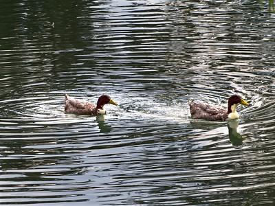 ++A241797 Bandera City Park - Ducks – Version 2