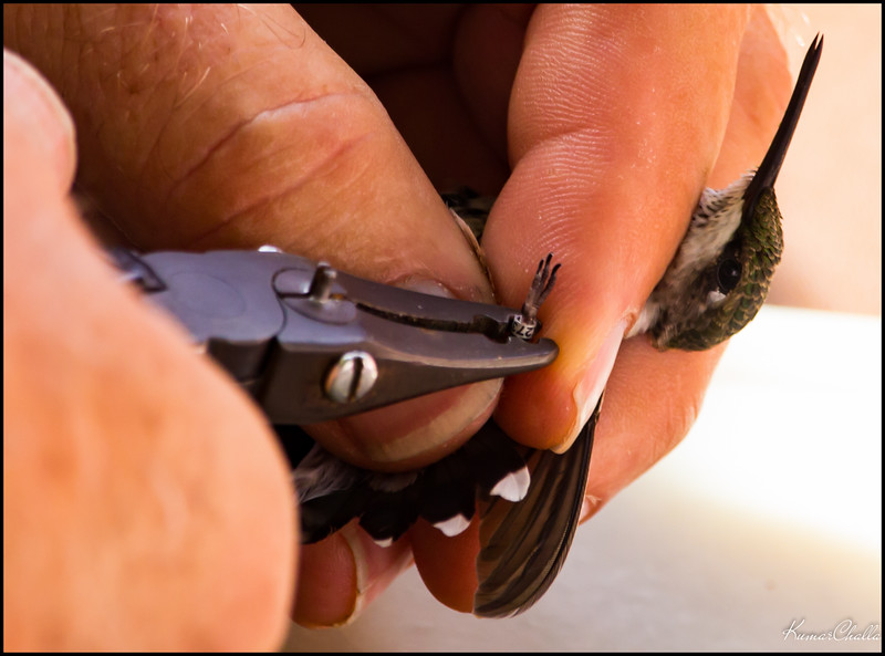 Banding pliers are  used to attach a numbered band to the bird's leg