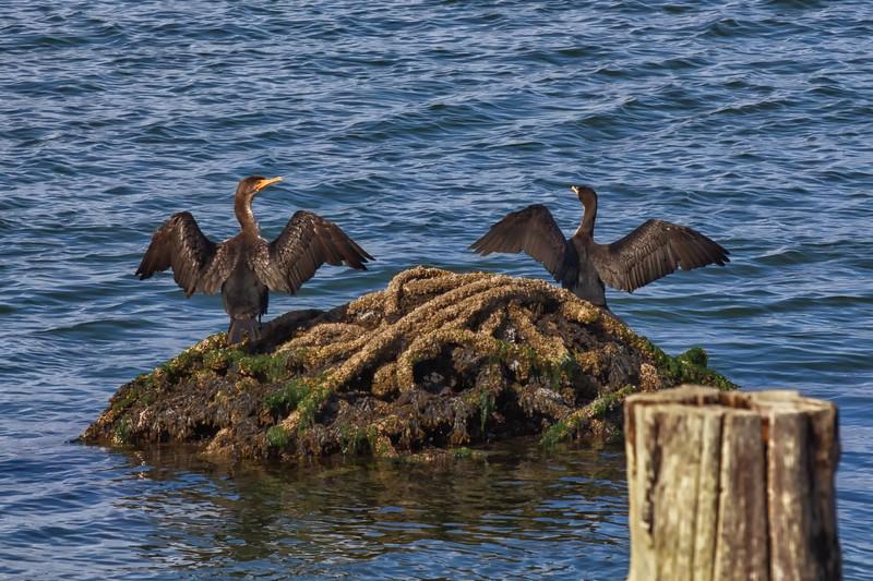 Dance of the Cormorants