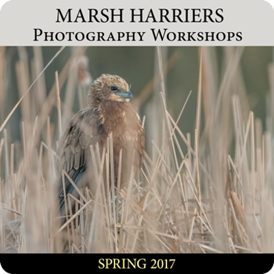 Marsh Harriers Photography Workshops