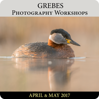 Grebes Photography Workshops