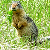 Golden Crested Ground Squirrel