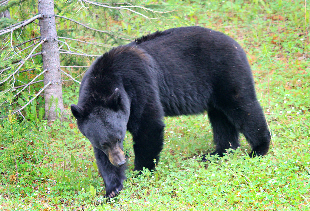 Black bear along Highway 93, Banff to Jasper