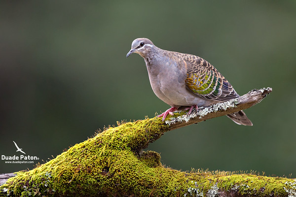 Common Bronzewing (Female)