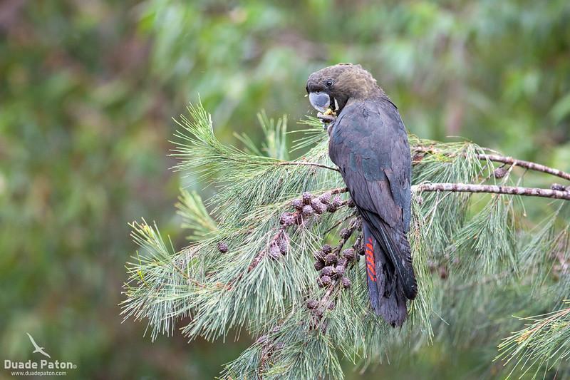 Glossy Black Cockatoo - Male