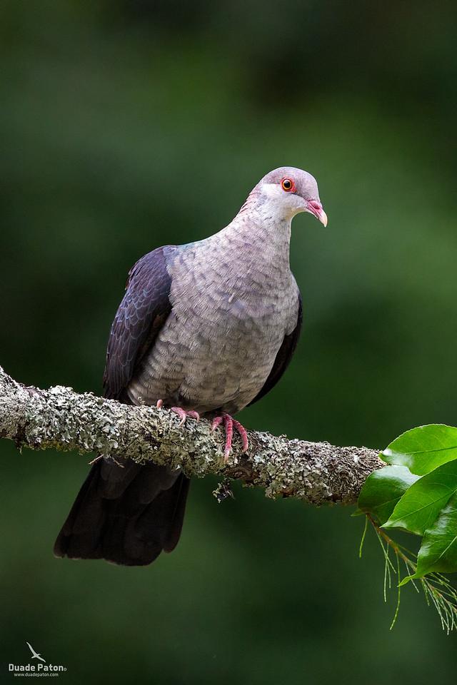 White-headed Pigeon