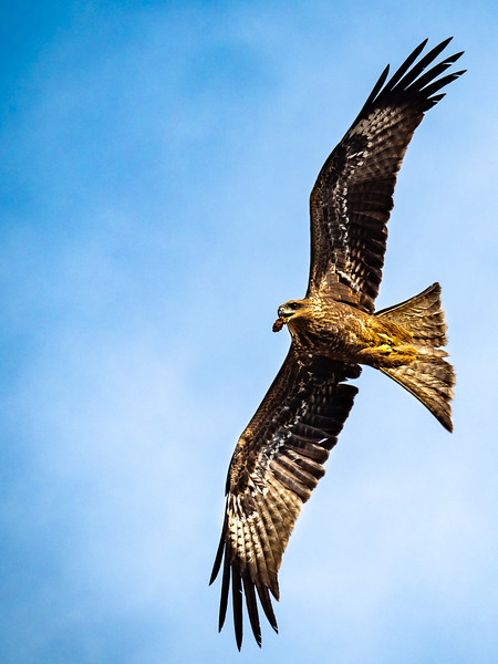 Black Kite Above Bangalore