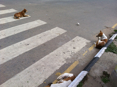 Stray dogs sleeping in the road in a very busy junction - Richmond Circle