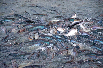 Feeding fish at Bukkhalo Temple - October 2008