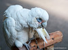 A pet bird on Silom Road, Silom, Bangkok, Thailand in March 2010. Sad. It could be an Australian Corella