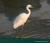 A Little egret (Egretta garzetta) photographed at Lumpini Park, Bangkok, in December 2009