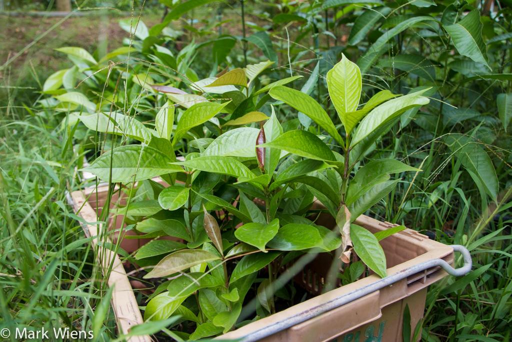Nonthaburi durian