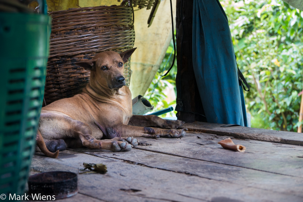 Durian farm dog