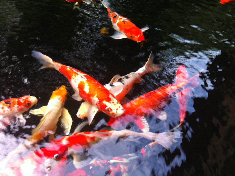 Koi Carp at Jim Thompson's House, Bangkok