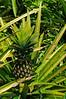 June is pineapple season!