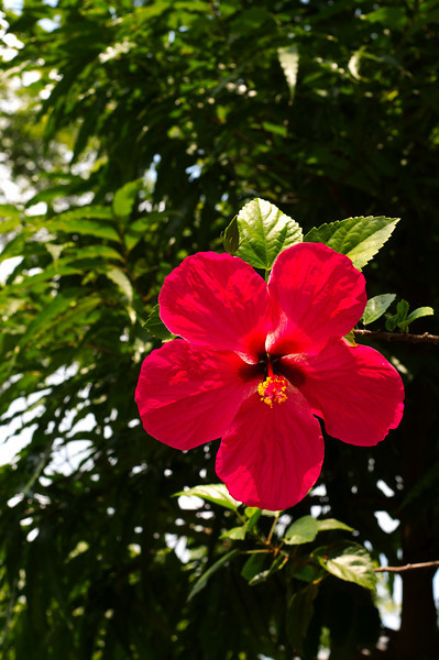 Hibiscus flowers are in bloom everywhere