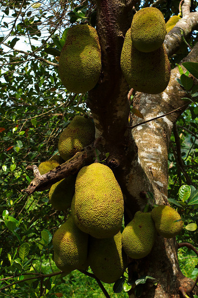 Jackfruit trees are scattered throughout Haatibandha