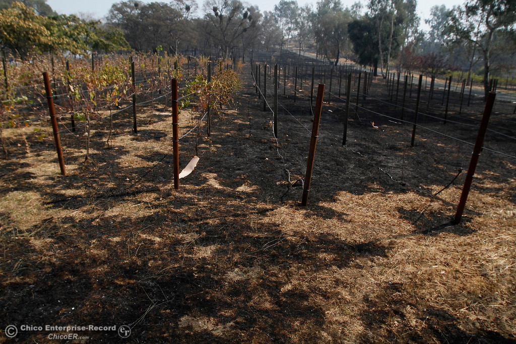 . The buildings appear intact at the top of the hill, but the vines at Bangor Ranch Vineyard & Winery have been badly burned Tuesday, Oct. 10, 2017, in Bangor, California, after the La Porte Fire ripped through the unincorporated Butte County community. (Dan Reidel -- Mercury-Register)