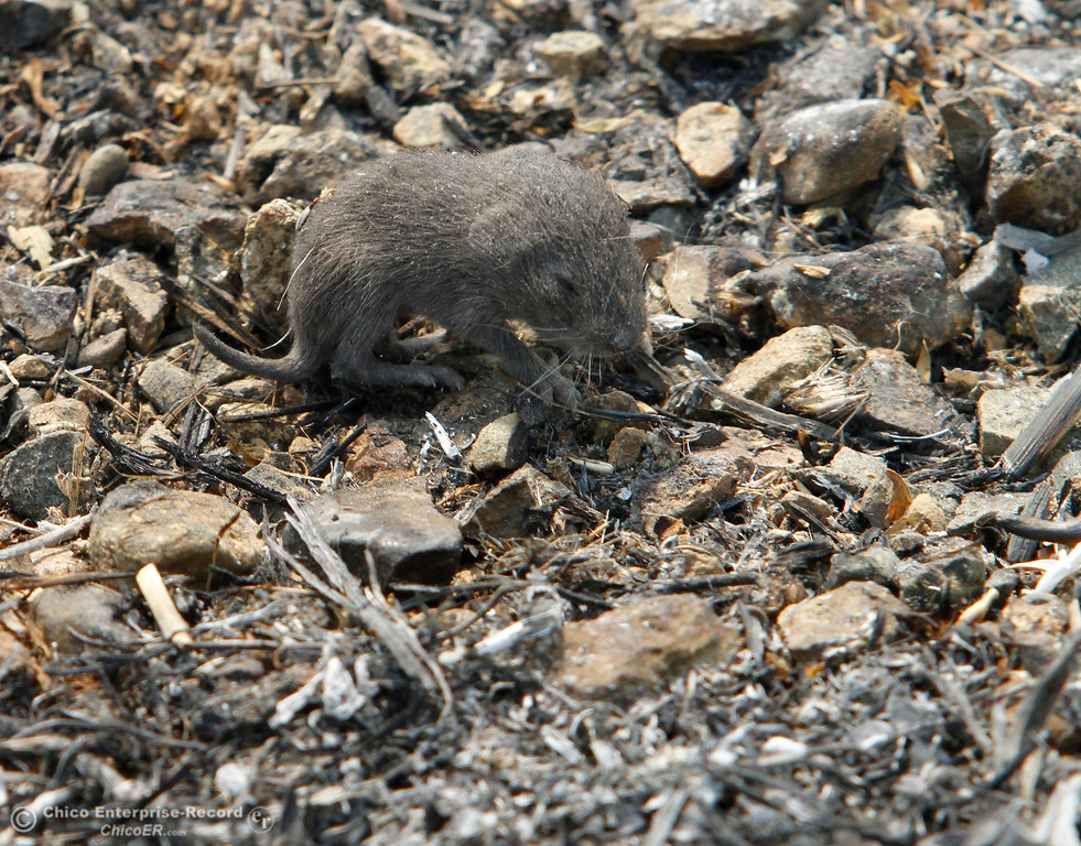 . A baby rodent struggles and whines in burnt grass Tuesday, Oct. 10, 2017, in Bangor, California, after the La Porte Fire ripped through the unincorporated Butte County community. (Dan Reidel -- Mercury-Register)