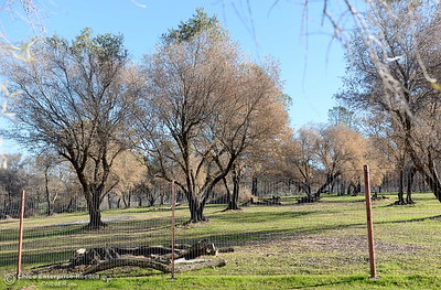 An olive orchard, partly destroyed by fire is seen at the Bangor Ranch and Vinyard following the La Porte Fire in Bangor, Calif. Wed. Dec. 13, 2017. (Bill Husa -- Enterprise-Record)