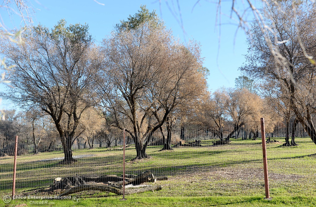 . An olive orchard, partly destroyed by fire is seen at the Bangor Ranch and Vinyard following the La Porte Fire in Bangor, Calif. Wed. Dec. 13, 2017. (Bill Husa -- Enterprise-Record)