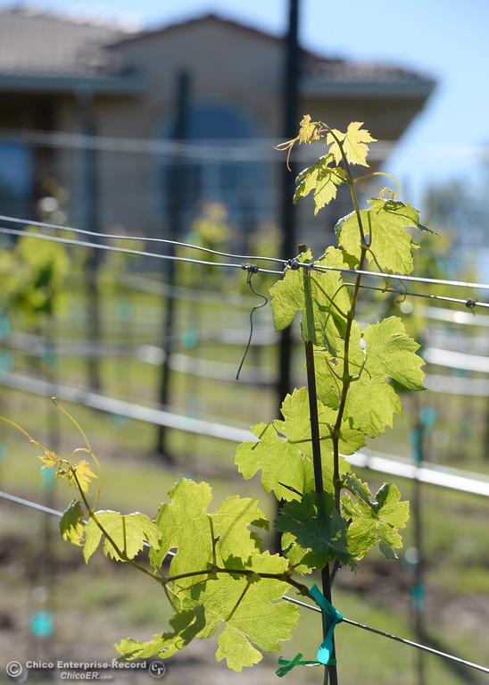 . New grape vines begin to take root at Bangor Ranch Vinyard & Winery on La Porte Rd. in Bangor, Calif. Friday April 20, 2018. (Bill Husa / Chico Enterprise-Record)