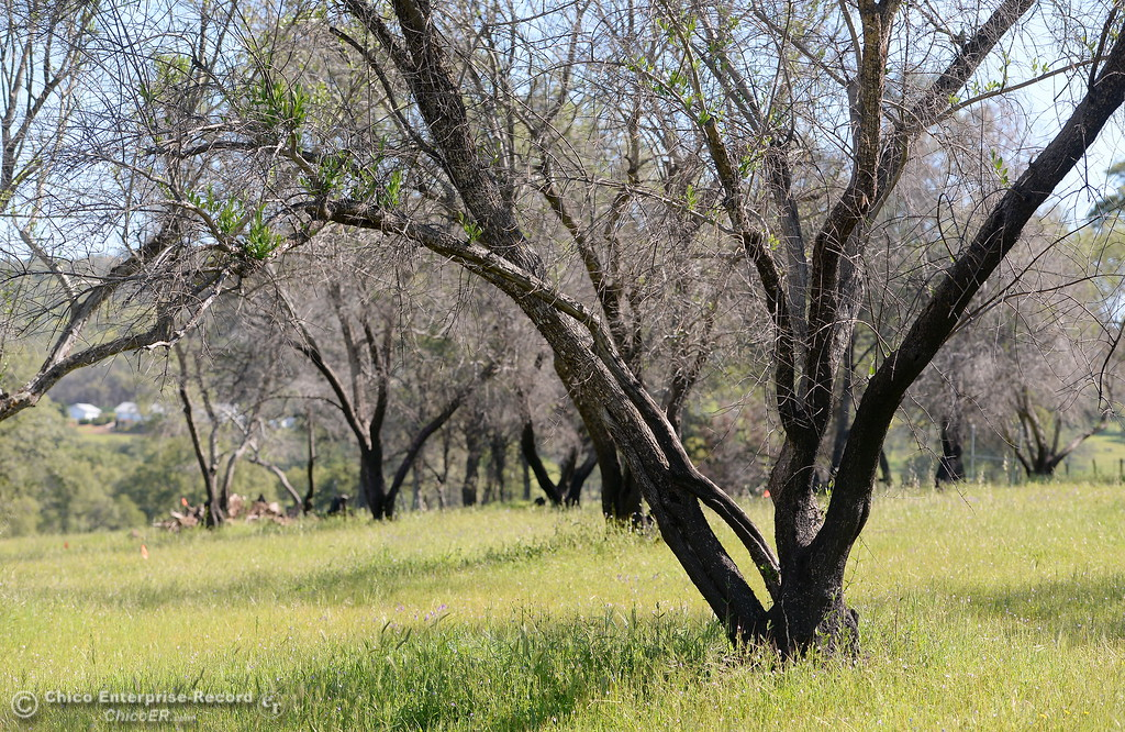 . What remains of the olive orchard is seen at Bangor Ranch Vinyard & Winery on La Porte Rd. in Bangor, Calif. Friday April 20, 2018. (Bill Husa / Chico Enterprise-Record)