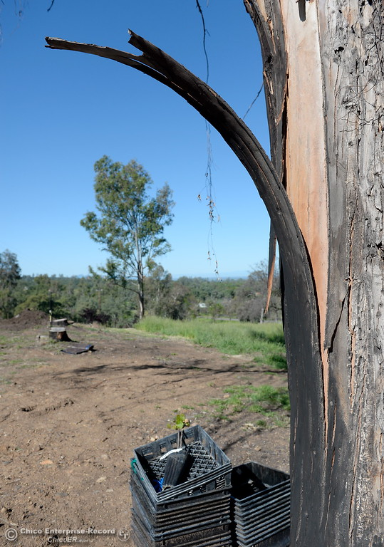 . A reminder of the fire is seen on a charred Eucalyptus tree at Bangor Ranch Vinyard & Winery on La Porte Rd. in Bangor, Calif. Friday April 20, 2018. (Bill Husa / Chico Enterprise-Record)