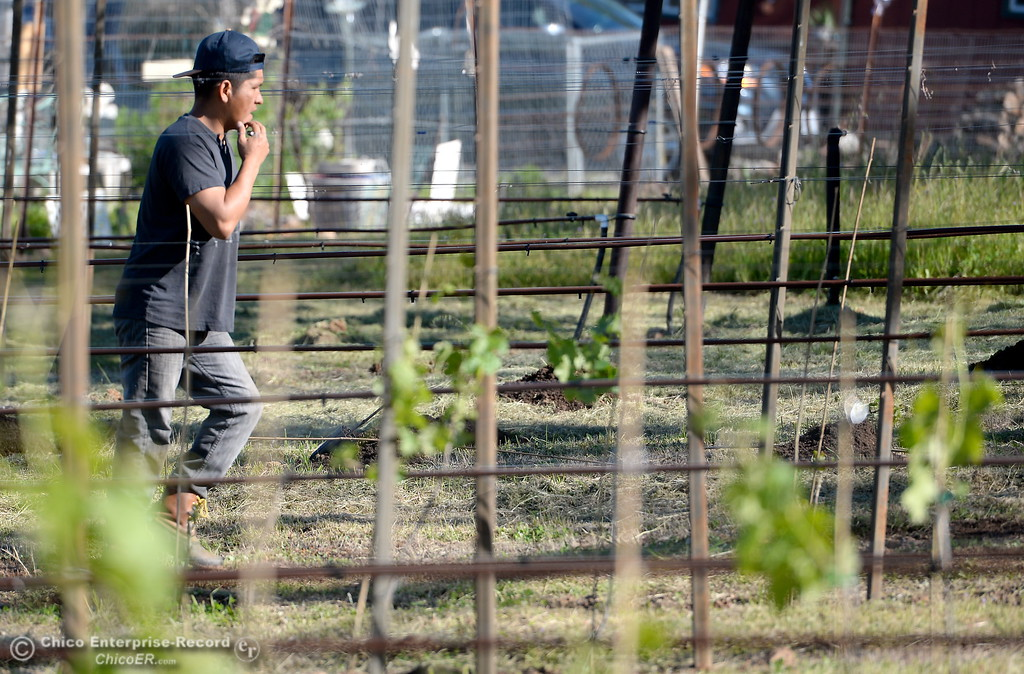 . Vinyard Manager Leo Perez is seen in the vinyard at Bangor Ranch Vinyard & Winery on La Porte Rd. in Bangor, Calif. Friday April 20, 2018. (Bill Husa / Chico Enterprise-Record)