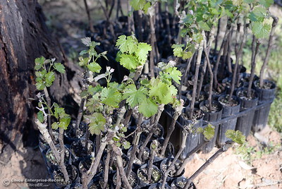 New grape vines wait to be planted at Bangor Ranch Vinyard & Winery on La Porte Rd. in Bangor, Calif. Friday April 20, 2018. (Bill Husa / Chico Enterprise-Record)
