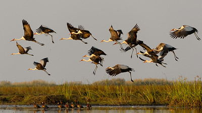 Wattled cranes  and white faced ducks
