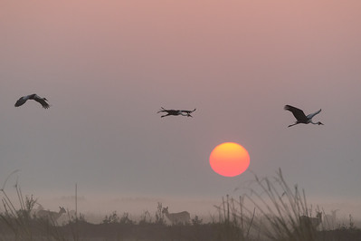 Wattled cranes and black lechwe, sunrise