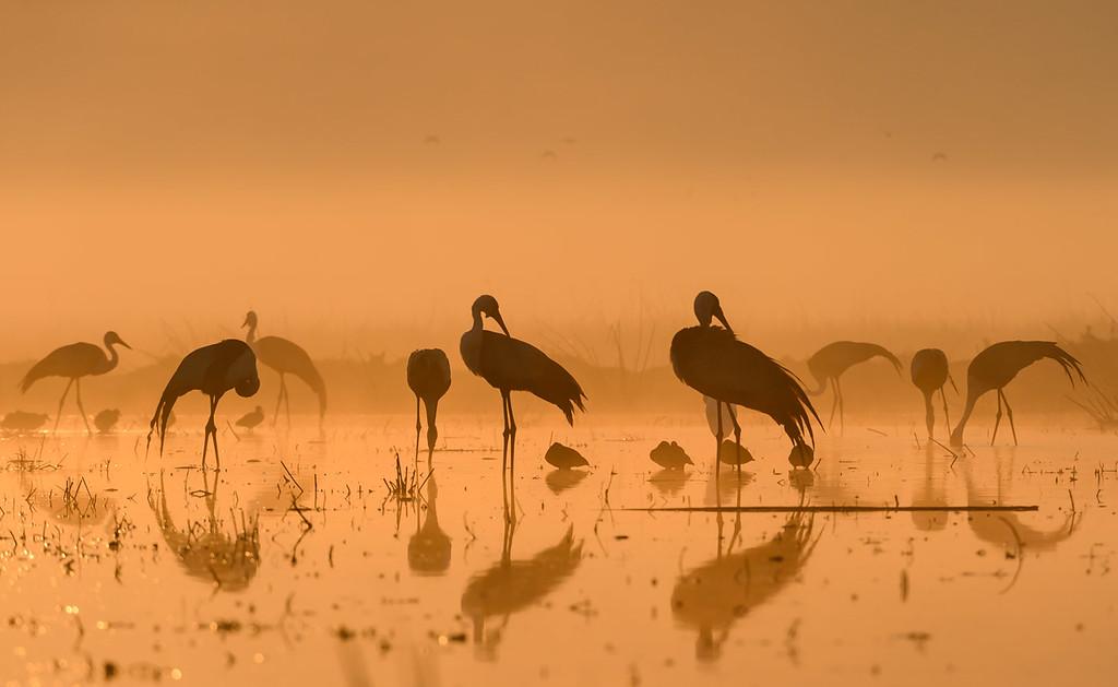 Wattled cranes at dawn