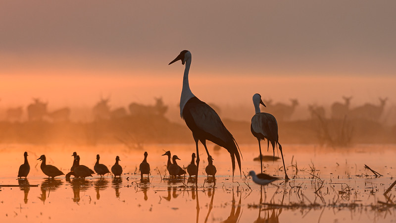 Wattled Cranes & Whistling Ducks. Highly Honored 2020 Nature's Best Photography International Awards