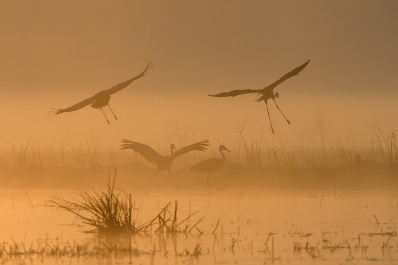 Wattled cranes at dawn