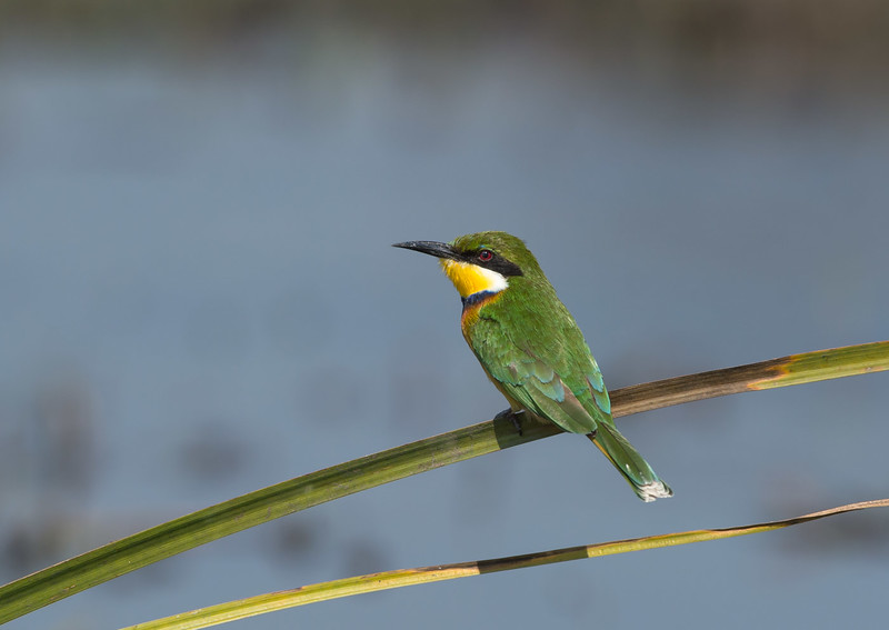 White-cheeked bee-eater