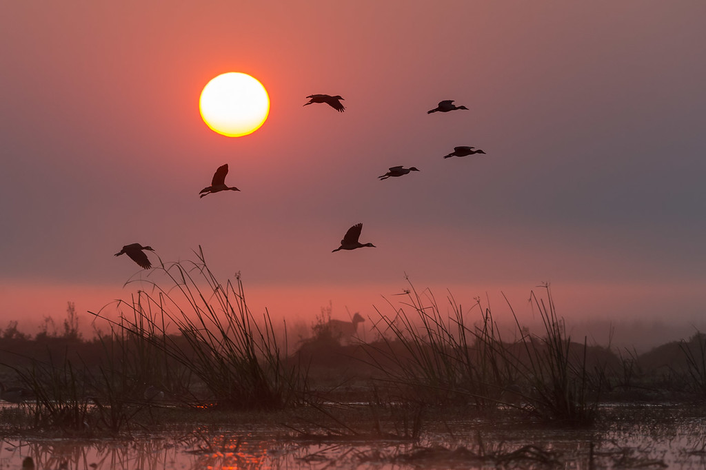 White-faced whistling ducks at dawn