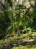 Deer fern (I think)