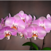 Somerville Orchids - Vancouver Orchid Designs
