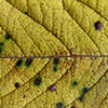Yellow Cherry Leaf