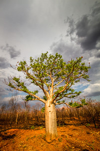 Boab(ab) tree in burnt bushland, Adansonia gregorii, Western Australia