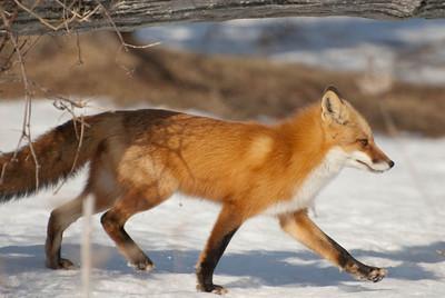 Fox, Howe Island, Ontario 2009-2-9