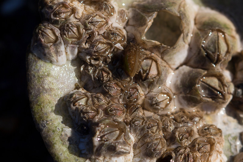 Unidentified Barnacles (Cirripedia)